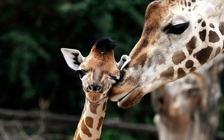 giraffes-two-nuzzle