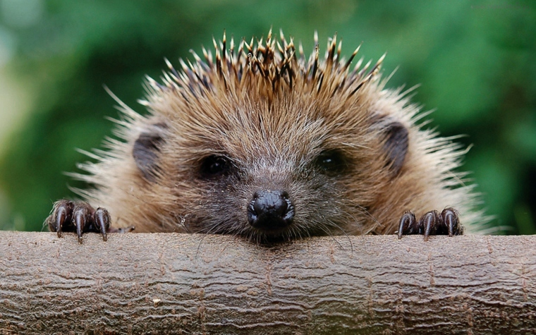 hedgehog-puppy
