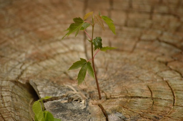 plant-from-tree-stump