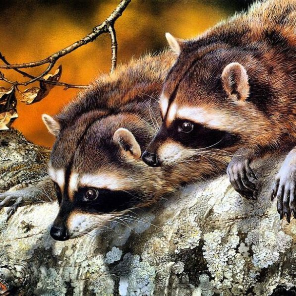 racoons-two-logs-looking