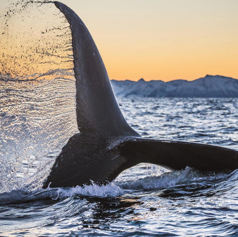 whale-humpback-tail-fin