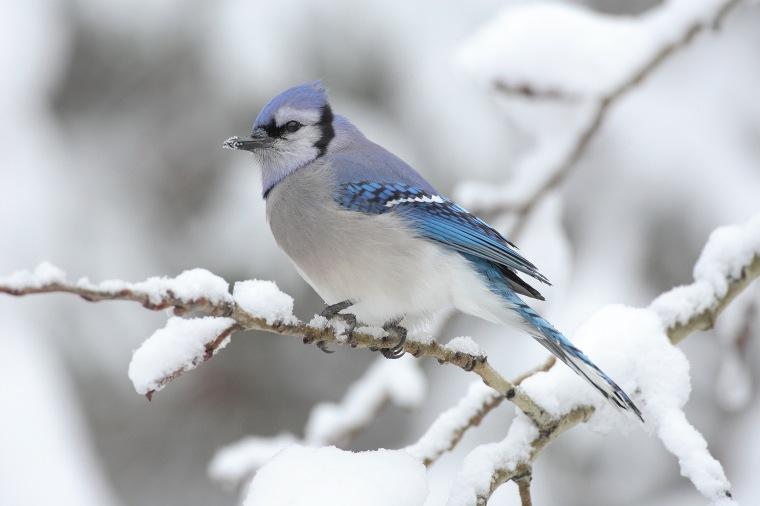 blue-jay-snow-branch