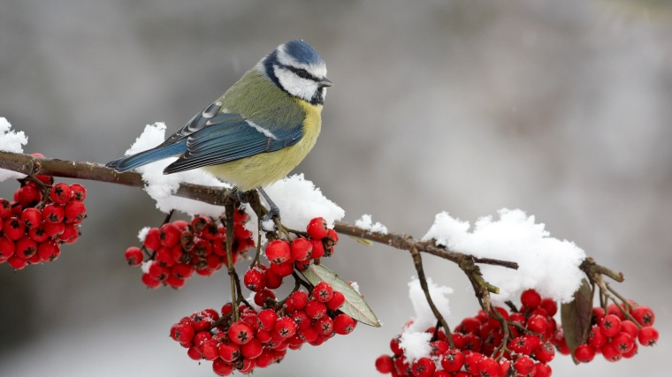 blue-titmouse-branch-snow