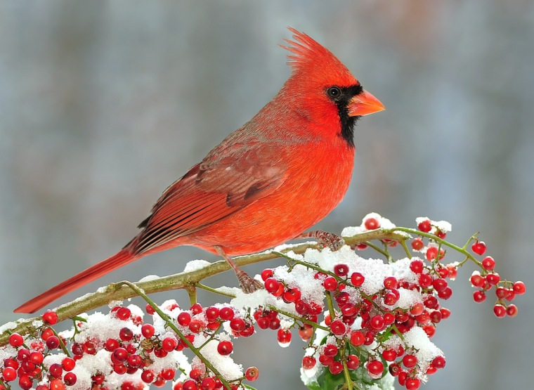 cardinal-branch-snow-berries