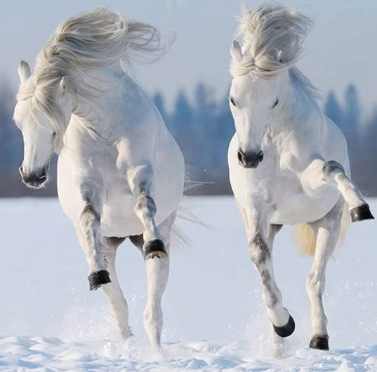horses-two-white-snow-gallop