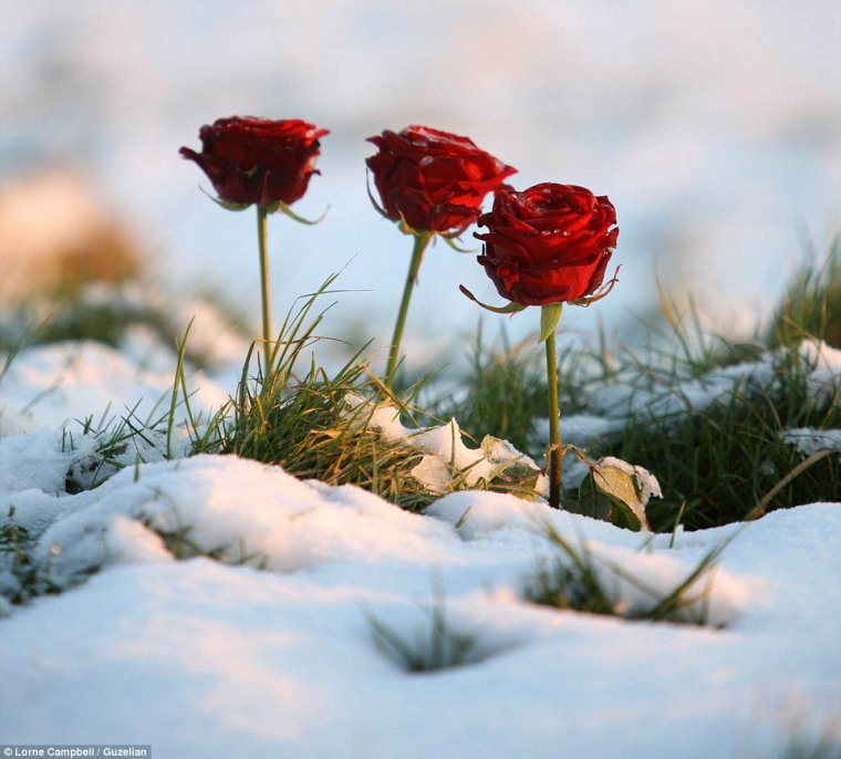 roses-three-winter-snow