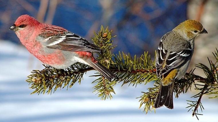 winter-birds-two-pine-branch